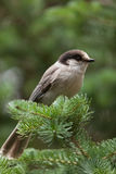 Grey jay. A Grey jay is perching on a branch (Canada jay, Whiskey Jack Stock Photography