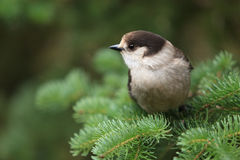 Grey jay. A Grey jay is perching on a branch (Canada jay, Whiskey Jack Royalty Free Stock Photo