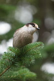 Grey jay Stock Photo