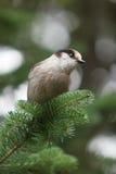Grey jay. A Grey jay is perching on a branch (Canada jay, Whiskey Jack Stock Photo