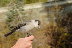 Grey jay Royalty Free Stock Image