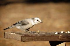 Grey Jay Bird op Lijst royalty-vrije stock foto