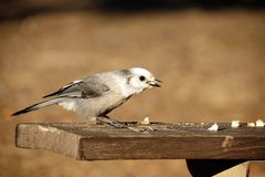 Grey Jay Bird on Table Royalty Free Stock Photo