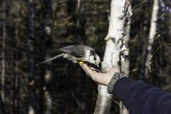 Grey Jay Stock Image