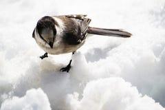 Grey Jay nella neve di fusione Immagine Stock Libera da Diritti
