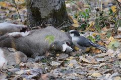 A Grey Jay pecking at a deer hide.  stock photo