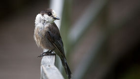 Grey Jay perched on deck rail Stock Photos