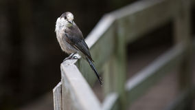 Grey Jay perched on deck rail Royalty Free Stock Photo