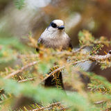 Grey Jay Perisoreus canadensis watching perched Stock Images