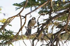 Grey Jay si è appollaiato su in un albero a Gros Morne National Park Immagine Stock