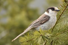 Grey Jay Sitting on the Branch. royalty free stock images