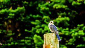 Grey Jay sitting on top of a pole in the high alpine meadows Stock Image