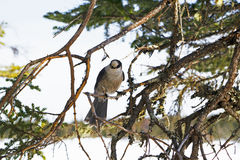 Grey Jay streek hoog in een boom in Gros Morne National Park neer Stock Afbeelding