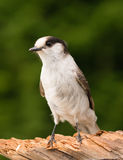 Grey Jay Whiskey Jack Bird Watching-Tier-wild lebende Tiere Stockbild