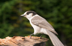 Grey Jay Whiskey Jack Bird Watching-Tier-wild lebende Tiere Stockbilder