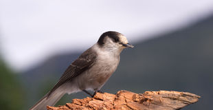 Grey Jay Whiskey Jack Bird Watching-Tier-wild lebende Tiere Lizenzfreies Stockfoto