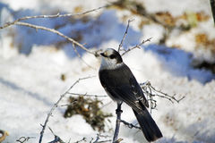 Grey Jay on a Winter Day in Gros Morne National Park. Grey day perched on a branch looking at me through the corner of it`s eye Royalty Free Stock Image