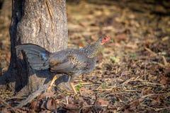 Grey Jungle fågelcloseup Arkivfoton