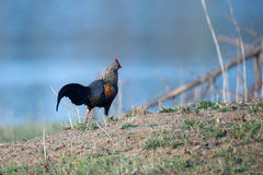 Grey Jungle fowl in habitat Royalty Free Stock Image