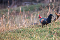 Grey Jungle fowl in habitat Stock Images