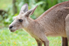 Grey kangaroo Stock Photos