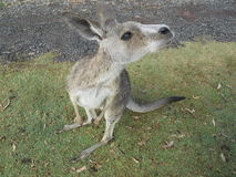 Grey kangaroo Stock Photo