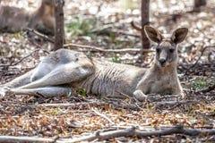 Grey Kangaroo Adult oriental selvagem, florestas estaciona, Victoria, Austrália, em novembro de 2018 fotografia de stock royalty free