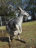 Grey kangaroo with baby Royalty Free Stock Photos