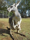 Grey kangaroo with baby Stock Photography