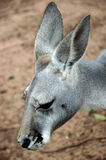Grey Kangaroo Stock Images
