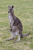 Grey kangaroo with confused Joey Stock Image