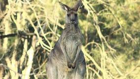 Grey Kangaroo del este australiano almacen de video