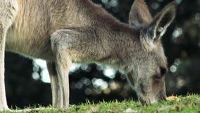 Grey Kangaroo del este australiano metrajes