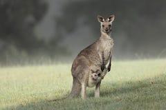 Grey Kangaroo del este con joey Fotos de archivo libres de regalías
