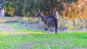 Grey Kangaroo Feeding Foto de Stock
