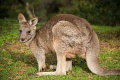 Grey kangaroo - Grampians Australian national park Royalty Free Stock Photos