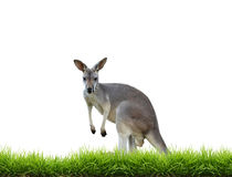 Grey kangaroo with green grass isolated. On white background Royalty Free Stock Photography