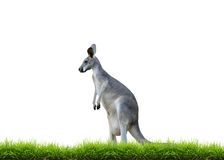 Grey kangaroo with green grass isolated. On white background Royalty Free Stock Image