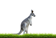 Grey kangaroo with green grass isolated. On white background Royalty Free Stock Photos