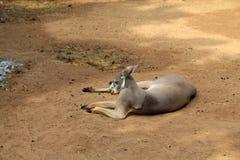 Grey Kangaroo stock photography