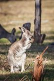 Grey Kangaroo Joey oriental selvagem, florestas estaciona, Victoria, Austrália, em novembro de 2018 foto de stock royalty free