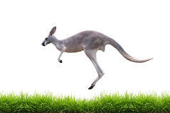 Grey kangaroo jump on green grass isolated. On white background Stock Images
