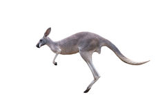 Grey kangaroo jumping Stock Image