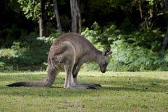 Grey Kangaroo Macropus Giganteus orientale australiano che affronta destra Fotografia Stock