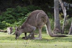 Grey Kangaroo Macropus Giganteus orientale australiano che pasce sull'erba Fotografie Stock Libere da Diritti