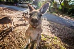 Grey Kangaroo montrant sa langue Image stock
