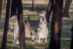 Grey Kangaroo Mother e Joey orientais selvagens, florestas estacionam, Victoria, Austrália, em novembro de 2018 foto de stock royalty free