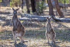 Grey Kangaroo Mother e Joey orientais selvagens, florestas estacionam, Victoria, Austrália, em novembro de 2018 imagens de stock royalty free