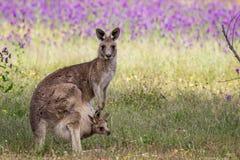 Grey Kangaroo Mother e Joey orientali selvaggi, parco dei terreni boscosi, Victoria, Australia, novembre 2017 fotografia stock libera da diritti