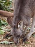 Grey Kangaroo Nibbling Grass oriental delicado foto de stock royalty free